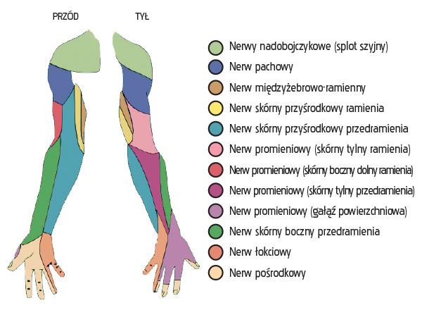 Schemat czuciowego unerwienia kończyny górnej