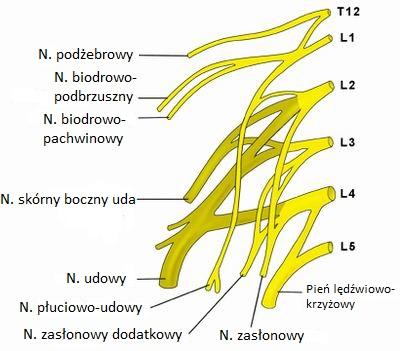 Schemat anatomii splotu lędźwiowego