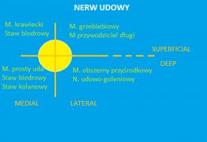 Schemat organizacji poszczególnych włókien nerwowych tworzących nerw udowy