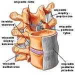 Więzadła kręgosłupa