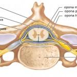 Anatomia przestrzeni podpajęczynówkowej oraz zewnątrzoponowej