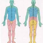 Przebieg dermatomów
