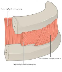 Anatomia przestrzeni międzyżebrowej