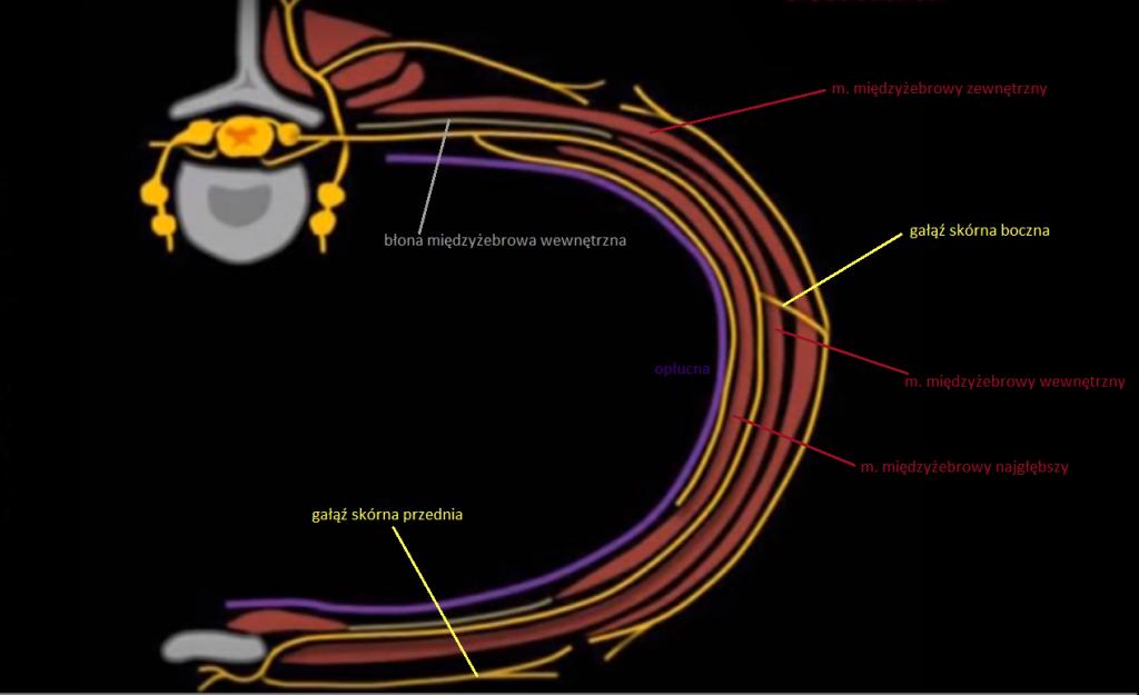 Anatomia przestrzeni miedzyżebrowej